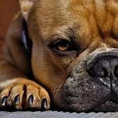 """La zone ORL de l'animal est sensible. Elle mérite une attention régulière et particulière  REGLE N°2 : LE """"DEMAQUILLANT"""" : LA LOTION OCULAIRE Les chiens et chats ont une sensibilité particulière des yeux 🌱 À base d'eau de bleuet, de sauge et de camomille 🌱 La lotion sert à nettoyer le contour des yeux, du museau et de la truffe tout en maintenant le pelage propre. 🌱 Très douce pour l'animal, il convient de la verser sur une compresse non tissée propre (une par oeil) ou un coton 💡Idéale après la balade lorsque l'animal a reniflé tout ce qu'il peut trouver dans son environnement 🌱 Idéale pour les animaux à face aplatie, chez qui les canaux lacrymaux se bouchent fréquemment, entraînant un écoulement des larmes aux coins de l'oeil  #biovetol #moncompagnonbiovetol #petcare #organic #Bio #ecocert #actifsdoriginevegetale #fabriqueenfrance #originefrance #chien #chat #petcare #madeinfrance #instadog #instacat #pet #dog #cat #animallover #soin #naturalproducts #lalotionoculaire"""